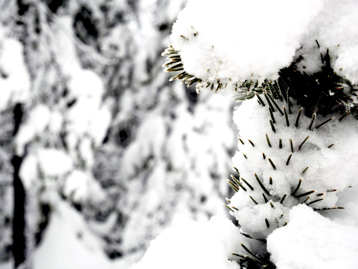 Snowy branches, Sweden. Photo by Anna Sjostrom Walton, Chalk & Moss.