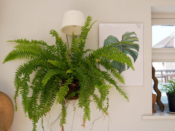 Kokedama balls can be made with large or small plants. Ferns and tropical plants are particularly suitable. The Cheese Plant (Monstera Deliciosa) print is by Dollybirds Art, available in the Chalk & Moss online shop. Learn how to make kokedama balls on the Chalk & Moss blog.