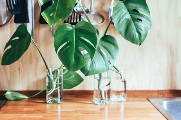 Wondering which is the best house plant to buy for your home or office? Go for both air purifying plants like peace lily or spider plants, combined with impressive big leaf plants like this cheese plant (aka monstera deliciosa) for maximum impact and benefit. Photo by Brina Blum on Unsplash
