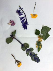 Pressed wild flowers
