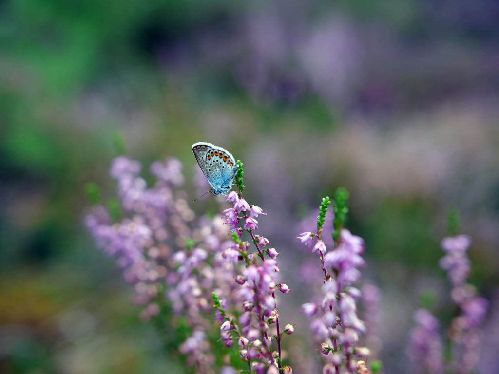 A Typical Blue butterfly on heather, in Norra Kvill National Park, Southern Sweden. Just here, I landed the biggest haul of chanterelles ever!